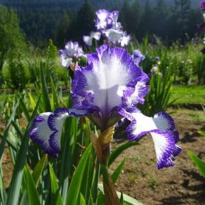 Iris, Slat Spring Island Garden